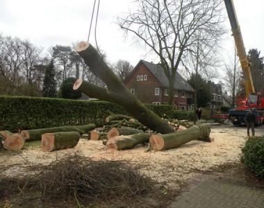 Grootste beuk in Bilthoven kappen